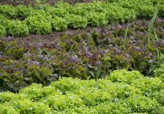 nieumyte warzywa toksoplazmoza