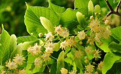 kwiaty i liście lipy