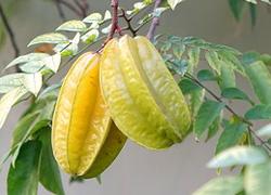 karambol gwiezdny owoc